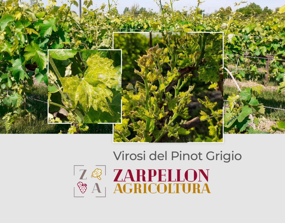 Virosi del Pinot Grigio